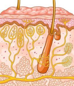 Haarschichten, Querschnitt durch die Haut